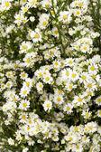 Cutter flower — Photo