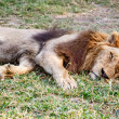 Stock Photo: Lion sleep