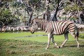 Walking zebra — Stock Photo