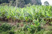 Bananas tree — Stock Photo