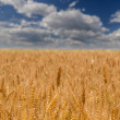 Stock Photo: Wheat field against summer sky