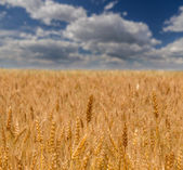 Wheat field against summer sky — Stock Photo