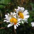 Two daisy — Stock Photo