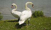 Swans. — Stock Photo