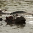 Hippopotamus — Stock Photo #39558045