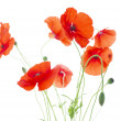 Corn Poppies with Seed Pods and Buds  (Papaver Rhoeas) — Stock Photo