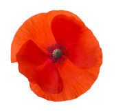 Close-up Corn Poppy (papaver rhoeas) Isolated with Clipping Path — Stock Photo