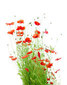 Bright Red Corn Poppies Isolated on White (Papaver Rhoeas) — Stock Photo
