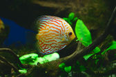 Orange discus fish in aquarium — Stockfoto
