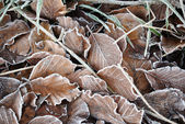 Frozen beach leaves — Stock fotografie