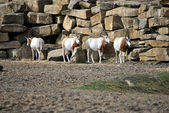 Small herd of oryx — Stock Photo