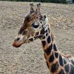 giraffa di Rothschild — Foto Stock #21660125