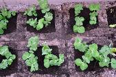 Pea seedlings — Stock Photo