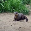Otter — Stock Photo #22039045