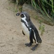 Stock Photo: Penguine