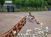 Rothchild zürafa — Stok fotoğraf