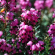 Purple bell heather, calluna vulgaris - Stock Photo