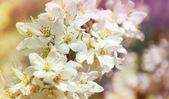 Tam bloom kiraz çiçekleri — Stok fotoğraf
