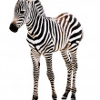 Adorable Baby Zebra standing. — Stock Photo #19822273