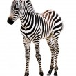 Adorable Baby Zebra standing. - Stock Photo