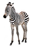 Adorable Baby Zebra standing. — Stockfoto