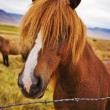 Icelandic Horse — Stock Photo #20143879