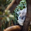 Royalty-Free Stock Photo: Sleeping Koala