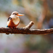 Grey-headed Kingfisher - Stock Photo