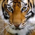 Постер, плакат: Tigers Face