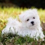 Maltese Puppy — Stock Photo #20146957