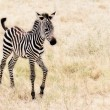 Baby Zebra — Stock Photo