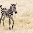 Baby Zebra — Stock Photo #20147421