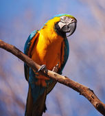 Blue and Yellow Macaw — Stockfoto