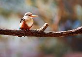 Grey-headed Kingfisher — Stockfoto