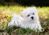 Maltese Puppy — Stockfoto