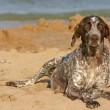 German shorthaired pointer on the beach — Stock Photo