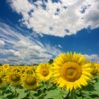 Field of sunflowers under dramatic skies - Stock Photo