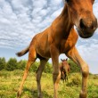 Stock Photo: Brown foal against skies