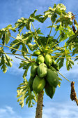 Closeup of pawpaw tree with fruits — Stock Photo
