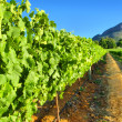 Постер, плакат: Vineyard against awesome mountains close view