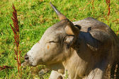 Closeup of African Nguni bull — Stock Photo