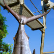 Tail of caught marlin — Foto Stock