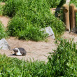 Nesting Cape penguin — Stock Photo