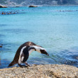 Cape penguin looks into water — Stock Photo