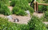 Nesting Cape penguin — Stock Photo