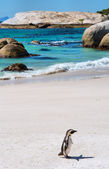 Lonely cape penguin on beach — Stok fotoğraf
