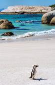 Sahilde yalnız cape penguen — Stok fotoğraf