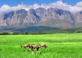 Antelopes, lawn, mountain — Stock Photo