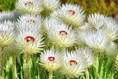 African wild flowers — Stock Photo