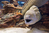 Alerted moray eel — Stock Photo